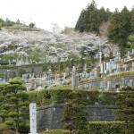 ✿藤枝霊園の桜✿【静岡県藤枝市 藤枝霊園】