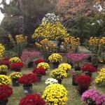 田中城下屋敷の菊花展に行ってきました。【静岡県藤枝市】