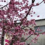 展示場の桜が咲いています!【静岡県藤枝市 藤枝展示場】