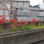 焼津工場の敷地に彼岸花が咲きました。【焼津市 焼津工場】