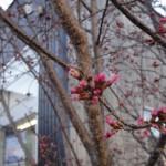 展示場の桜が咲きそうです【静岡県藤枝市】