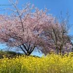 ~河津桜満開~✿山の手さくらまつり✿【静岡県焼津市】